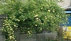 黄モッコウバラ